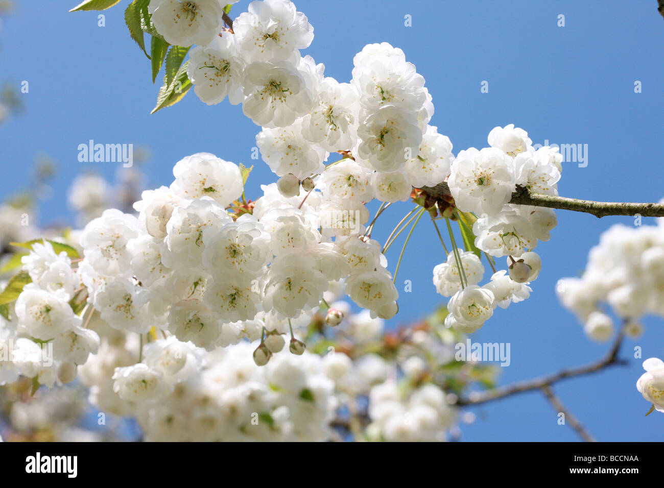 double gean blossom with its characteristic white drooping clusters a beautiful cherry tree - Stock Image