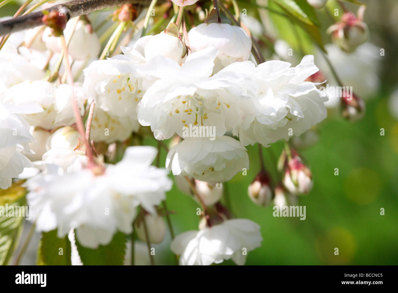 Prunus Avium Plena a beautiful blossoming cherry tree with drooping flowers fine art photography - Stock Image