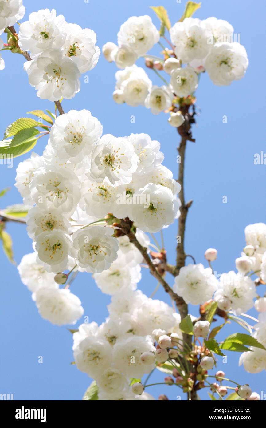 beautiful double gean blossom with its characteristic white drooping clusters - Stock Image
