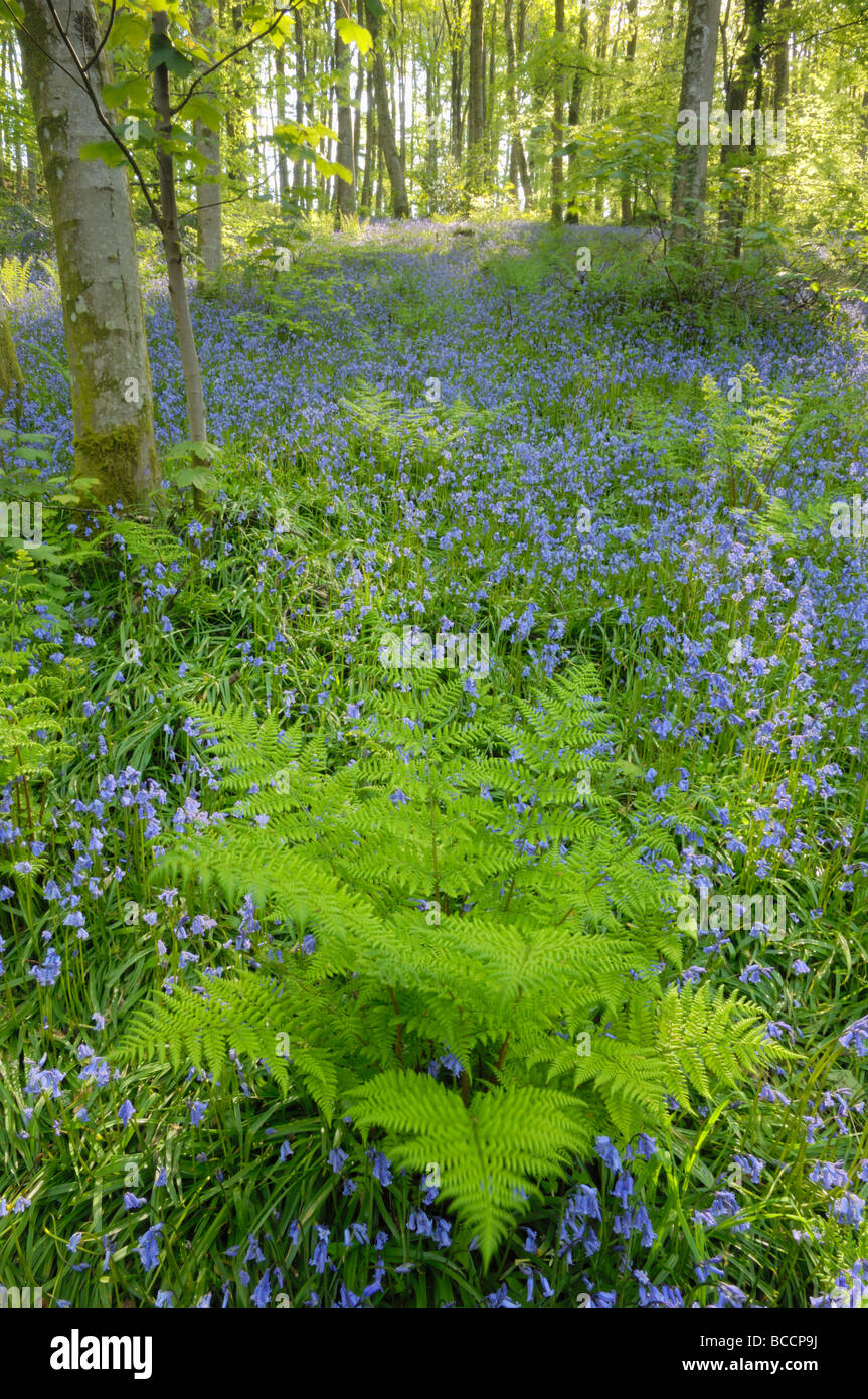 Ferns and Bluebells, Cally Woods, Gatehouse of Fleet, Dumfries & Galloway, Scotland - Stock Image