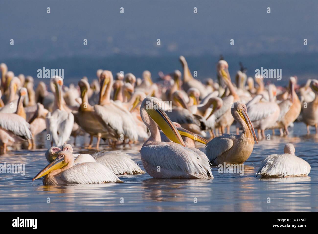 great white Pelican PELECANUS ONOCROTALUS NAKURU NATIONAL PARK KENYA EAST East Africa Stock Photo