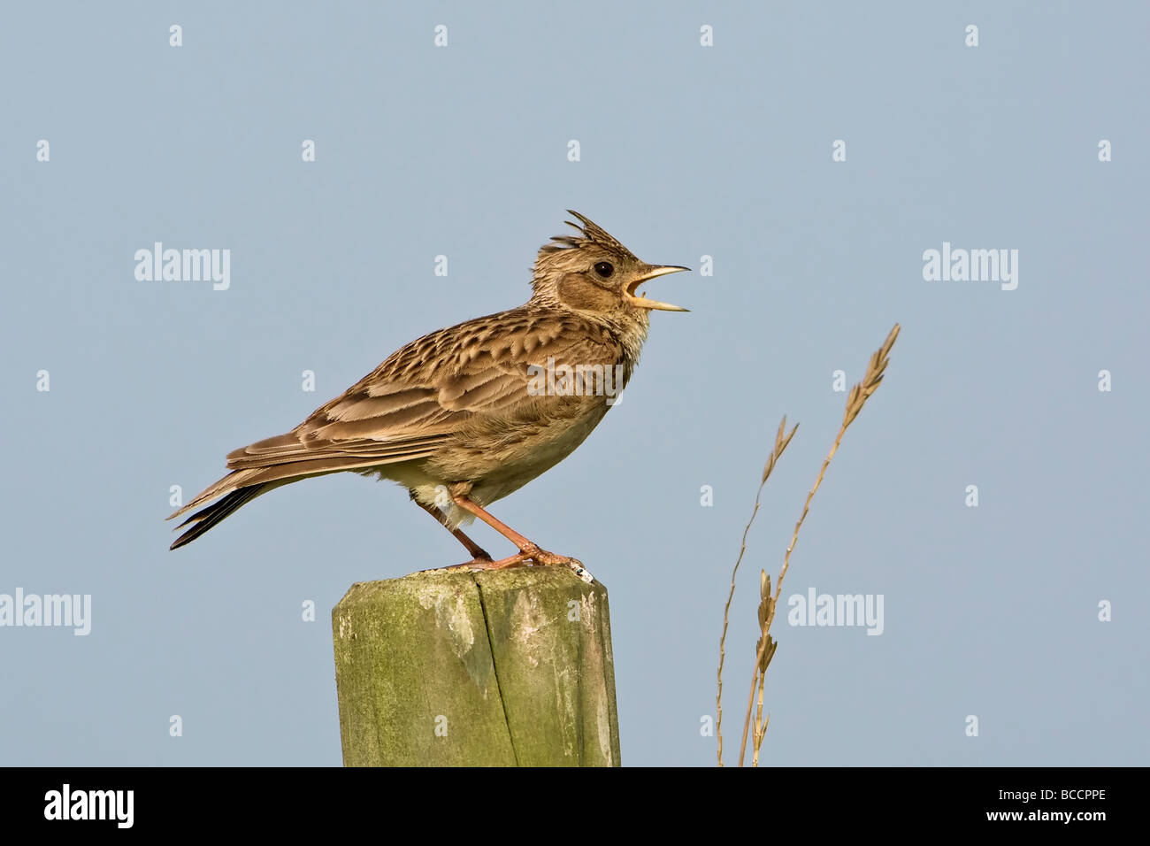 An adult Skylark singing from its display post - Stock Image