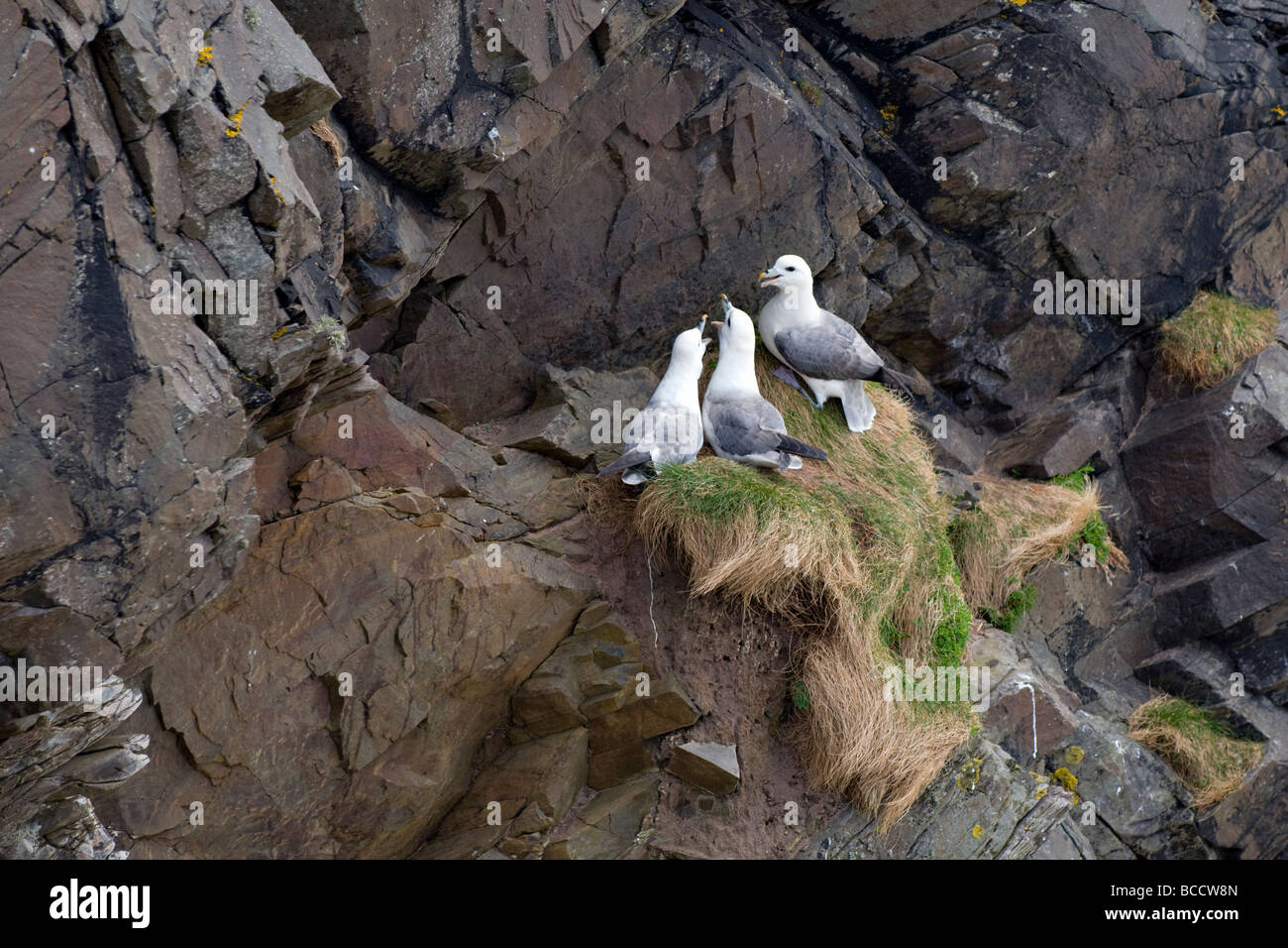 Juveniles and parent Common gulls, more commonly called seagulls nesting on cliffs at Balnakeil bay, Scotland in - Stock Image