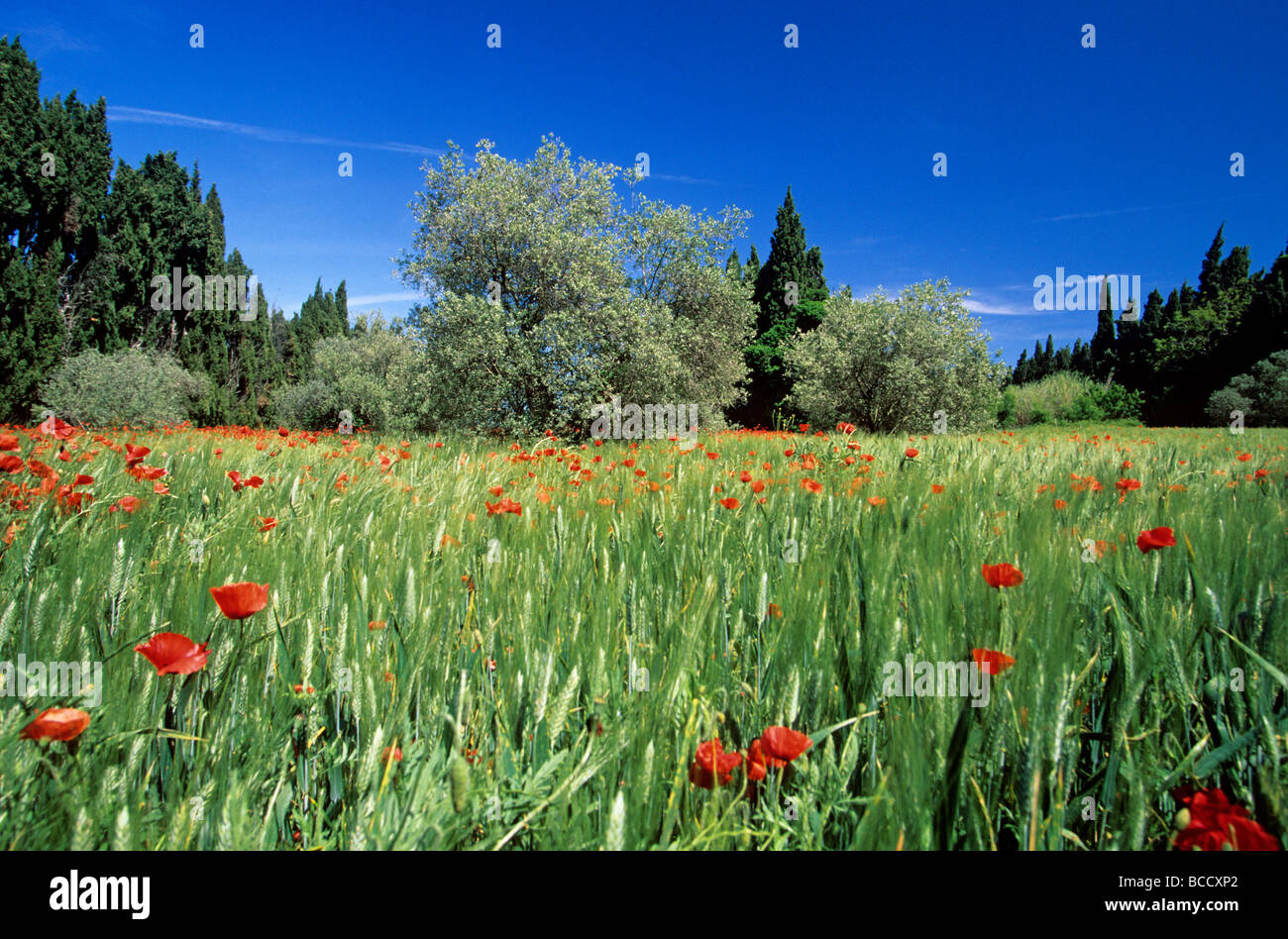 France, Bouches du Rhone, Alpilles, field of wheat, olive trees and poppies towards Saint Remy de Provence - Stock Image