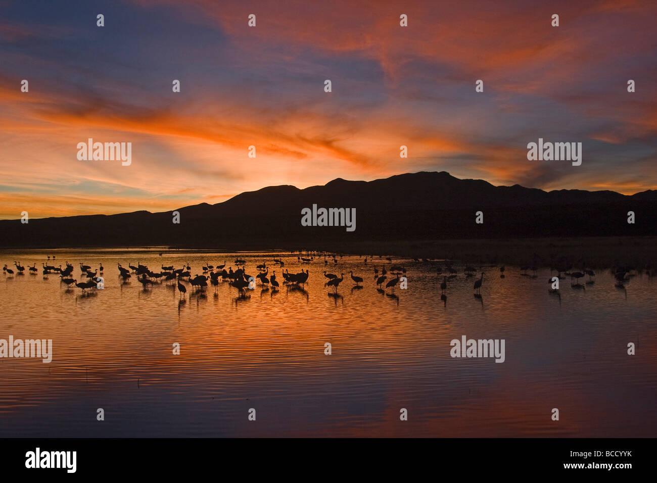 Sandhill Cranes (Grus canadensis) Bosque del Apache; New Mexico Stock Photo