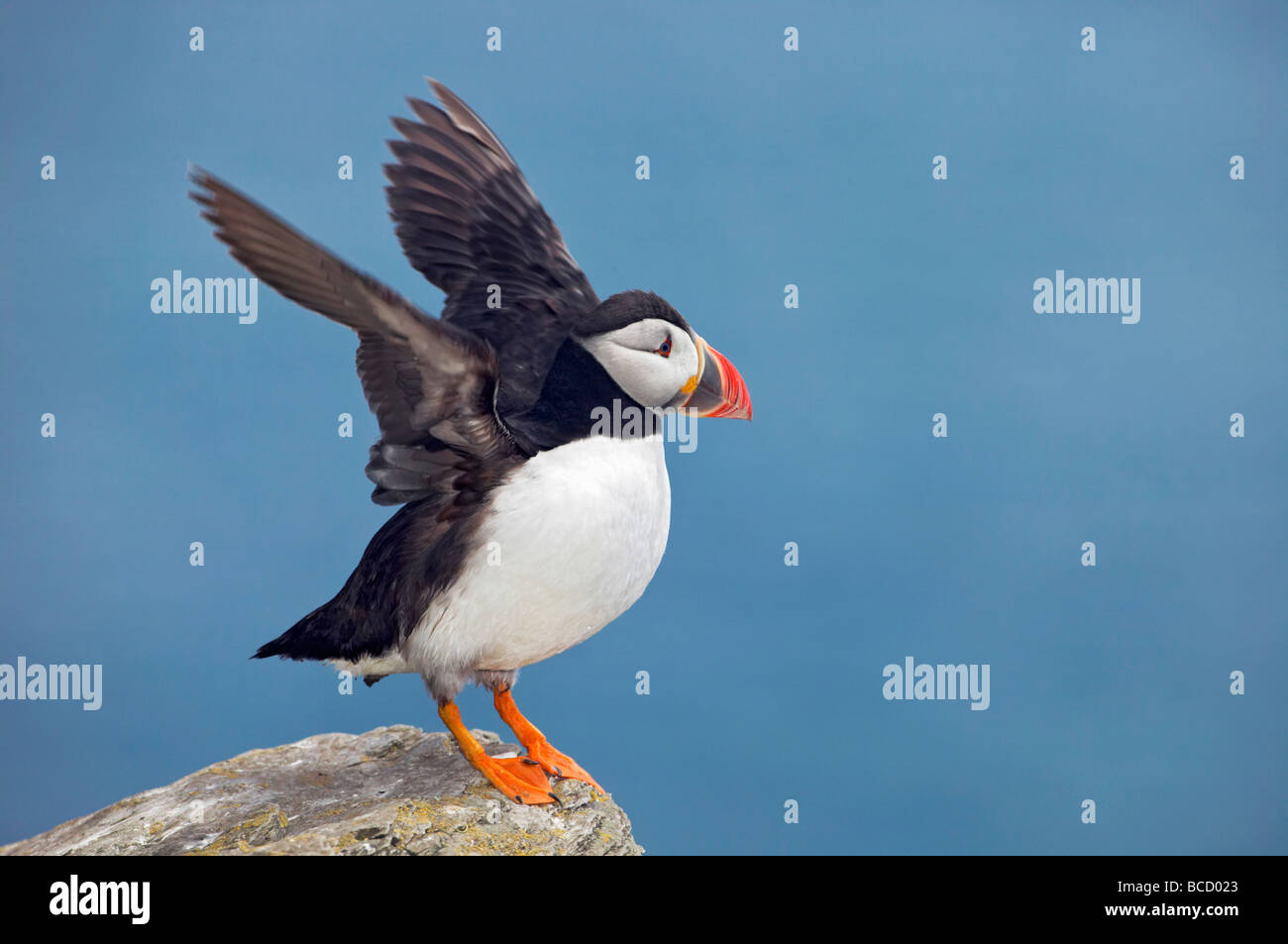 PUFFIN (Fratercula arctica) Shiant Islands. Outer Hebrides. Scotland - Stock Image
