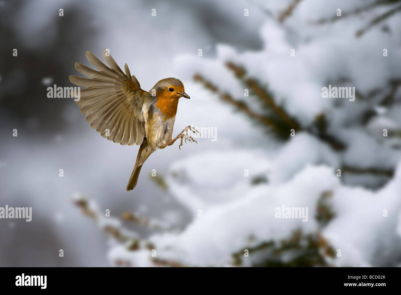 Robin (Erithacus rubecula) in snow. UK - Stock Image