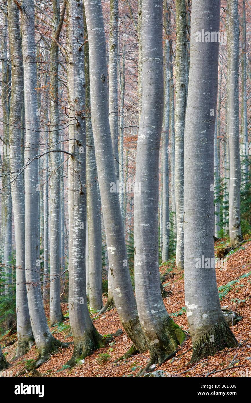 BEECH WOODLAND. Triglav National Park. Julian Alps. Gorenjska. Slovenia - Stock Image