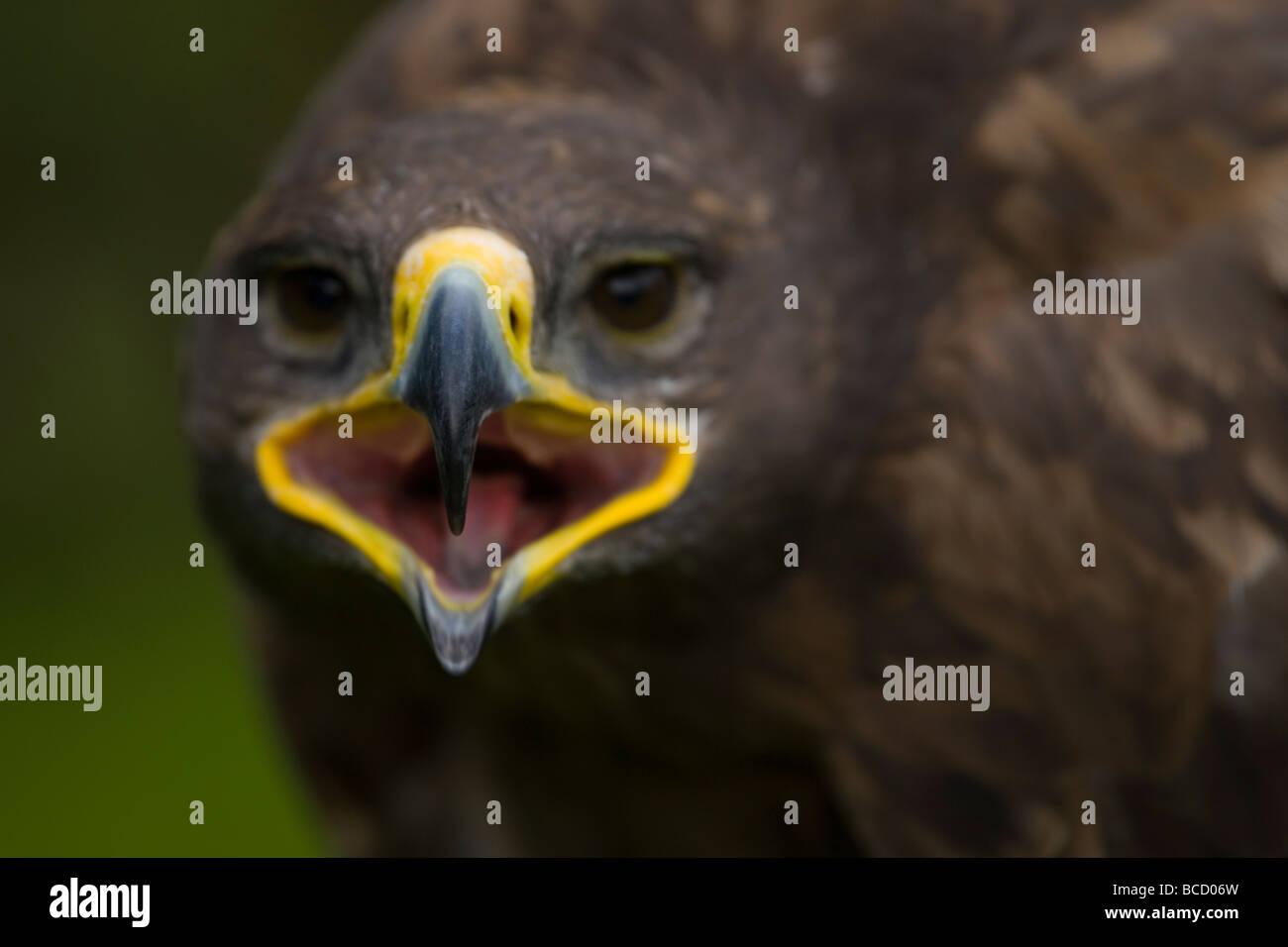 Steppe Eagle (Aquila nipalenis) Captive - Stock Image