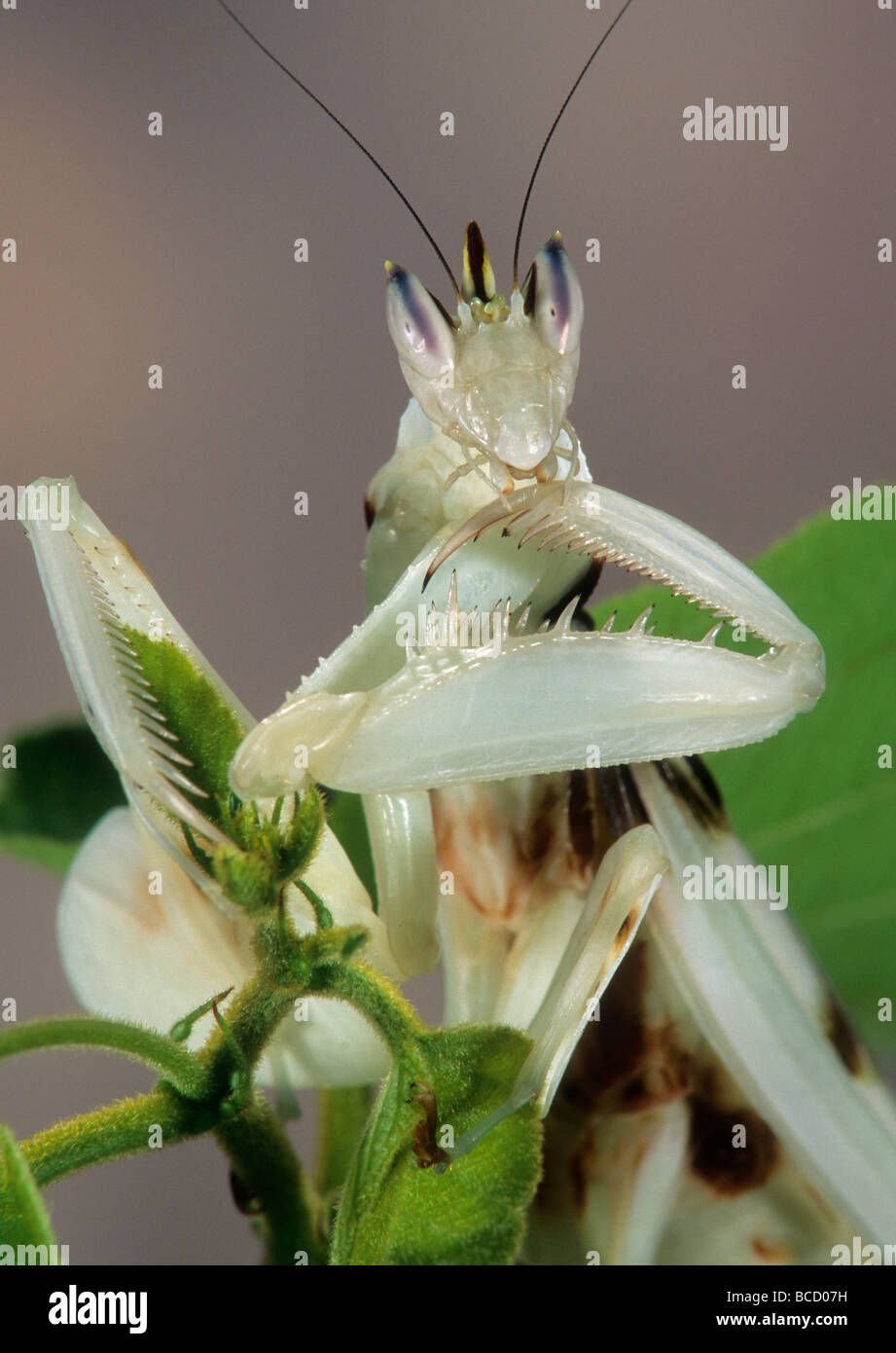 CLAW-CLEANING ORCHID MANTID (Hymenopus coronatus) native to the Malay Peninsula. - Stock Image