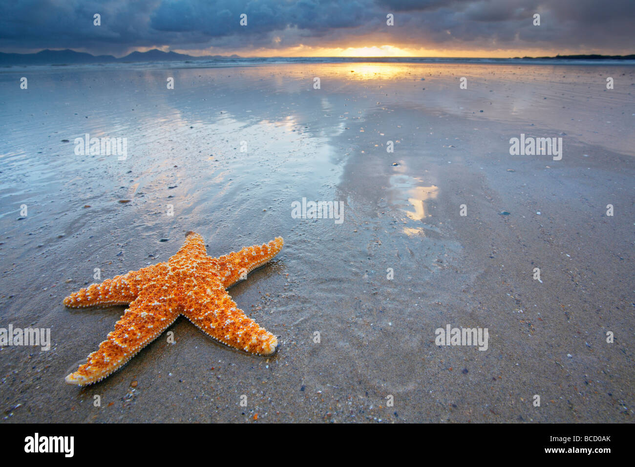 COMMON STARFISH (Asterias rubens) on beach (staged). Anglesey. Gwynedd. Wales - Stock Image