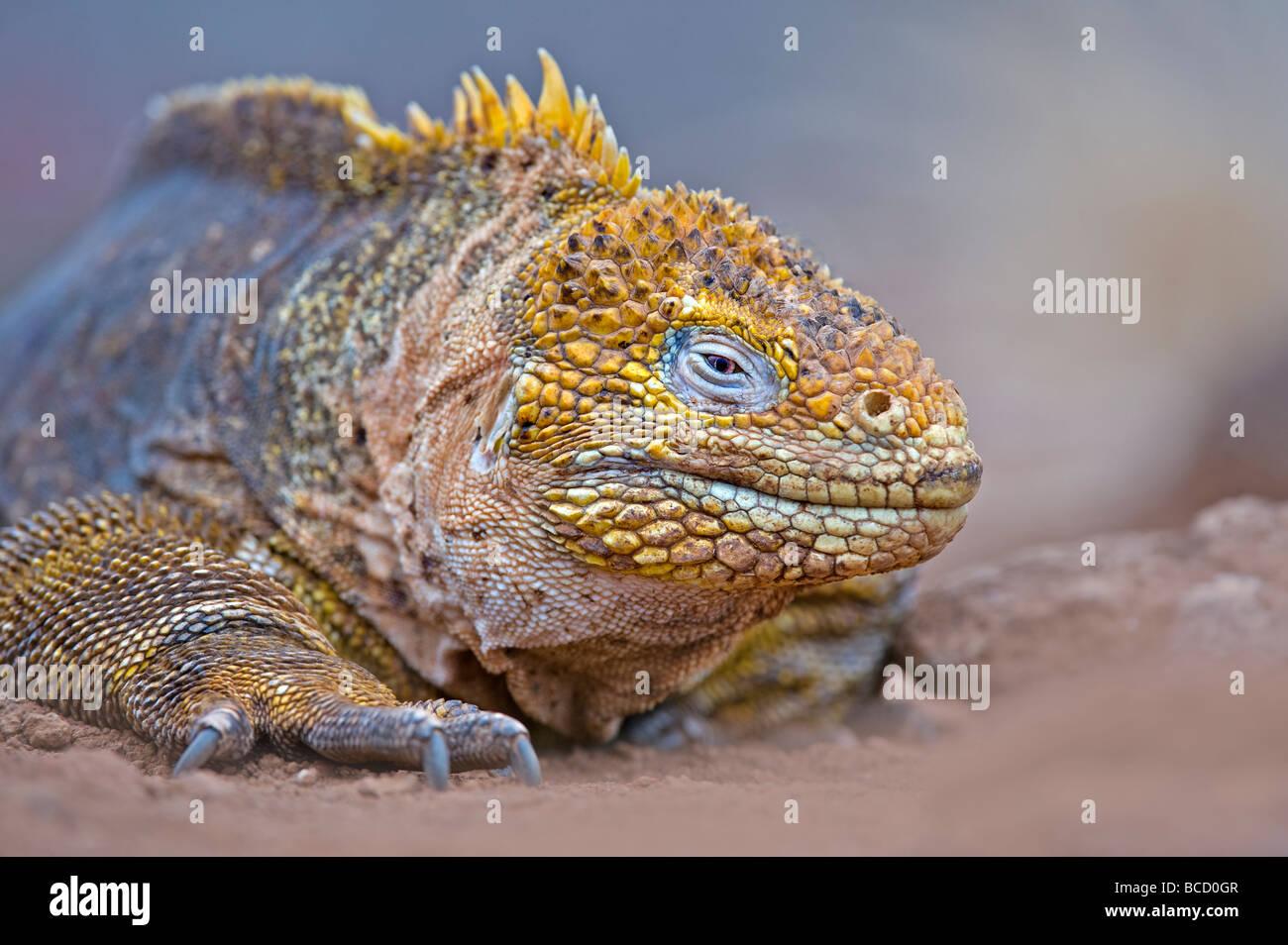 Galapagos Land Iguana (Conolophus subcristatus) Urbina Bay. Isabela Island. Galapagos - Stock Image