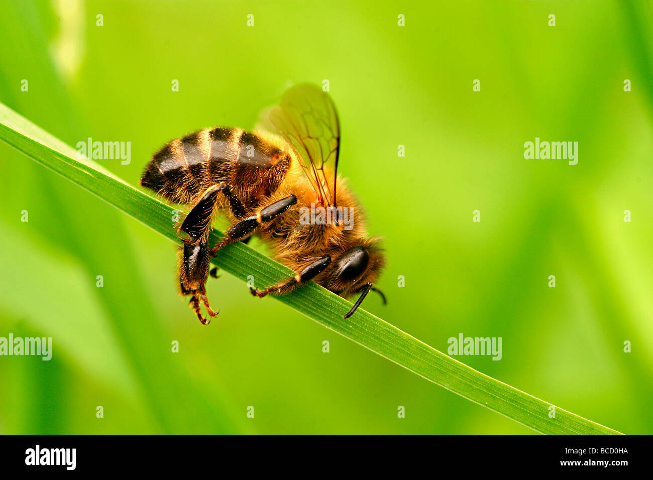 HONEY BEE (Apis melifera) collapse - Stock Image
