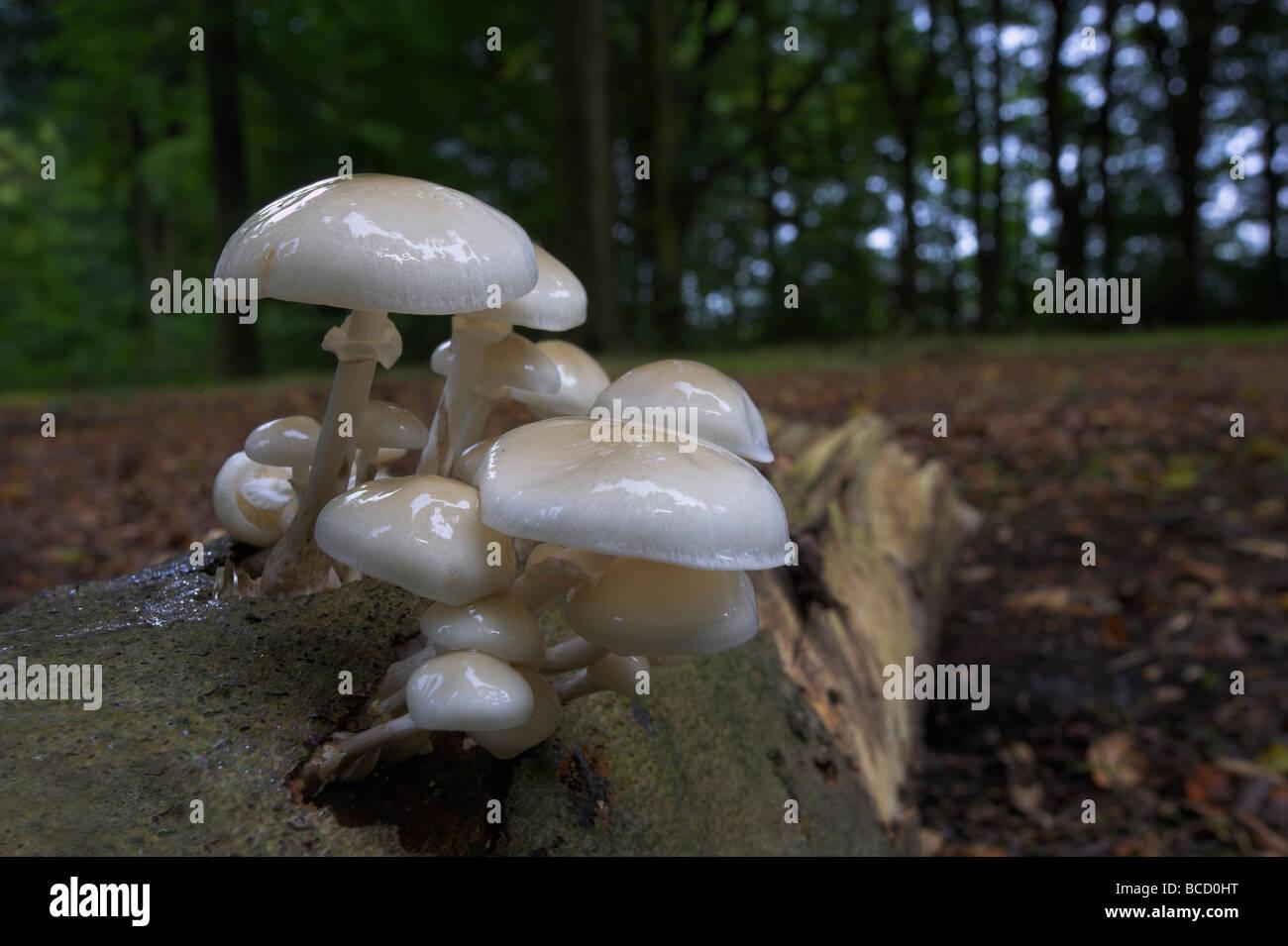 Porcelain fungus (Oudemansiella mucida) growing on dead wood in broad leaved semi natural woodland. - Stock Image