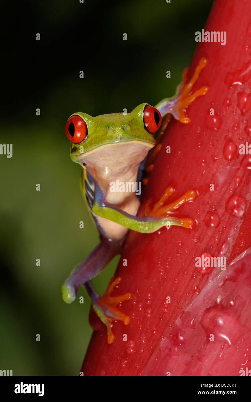 RED-EYED TREE FROG (Agalychnis callydrias). Guanacaste. Costa-Rica Stock Photo