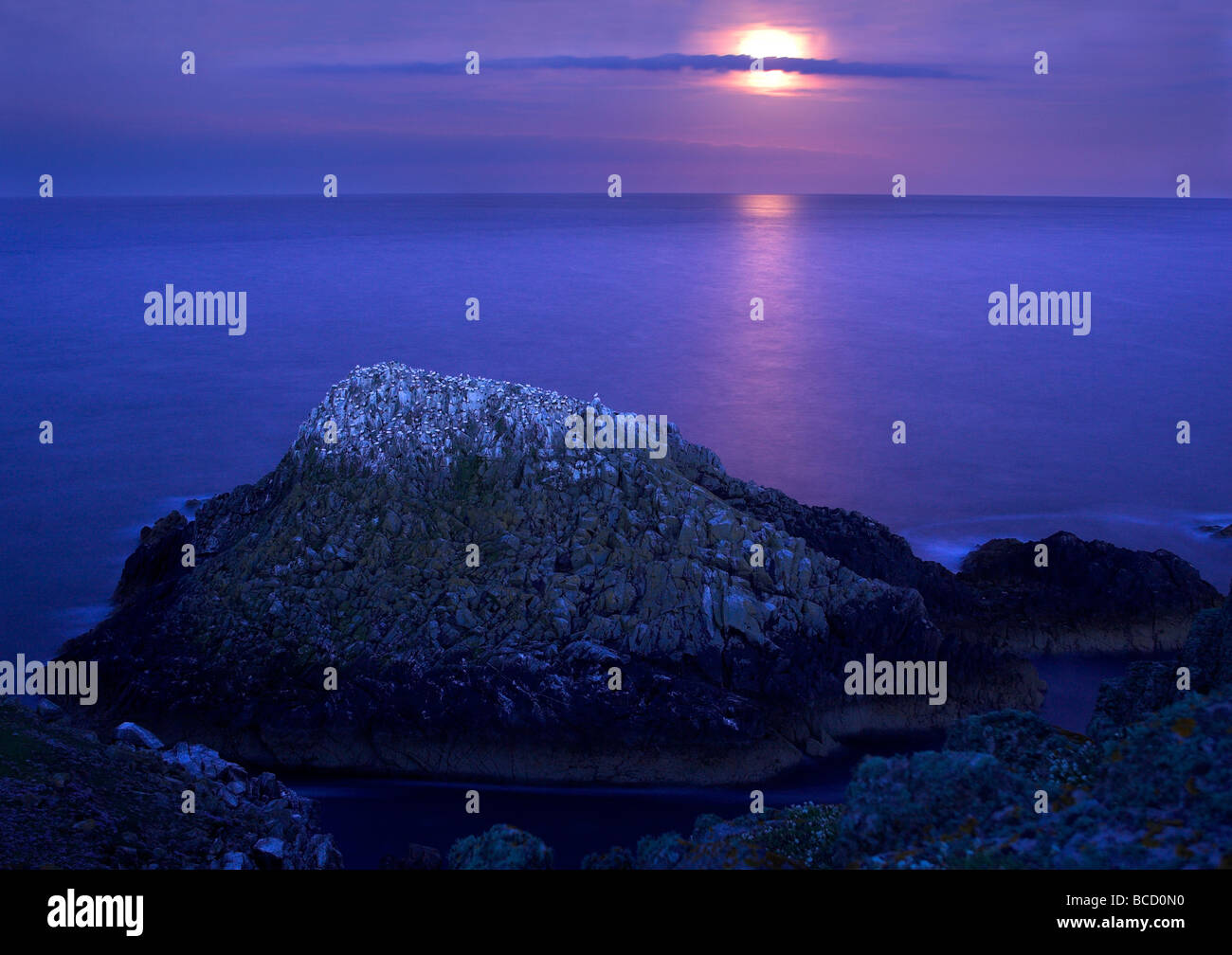 Gannet (Sula bassana) colony at night with the full moon rising over the sea. - Stock Image
