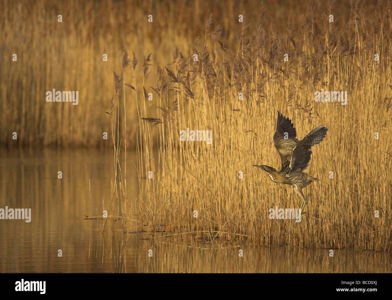 Bittern (Botaurus stellaris) flying across open water to reach a reedbed. Yorkshire - Stock Image