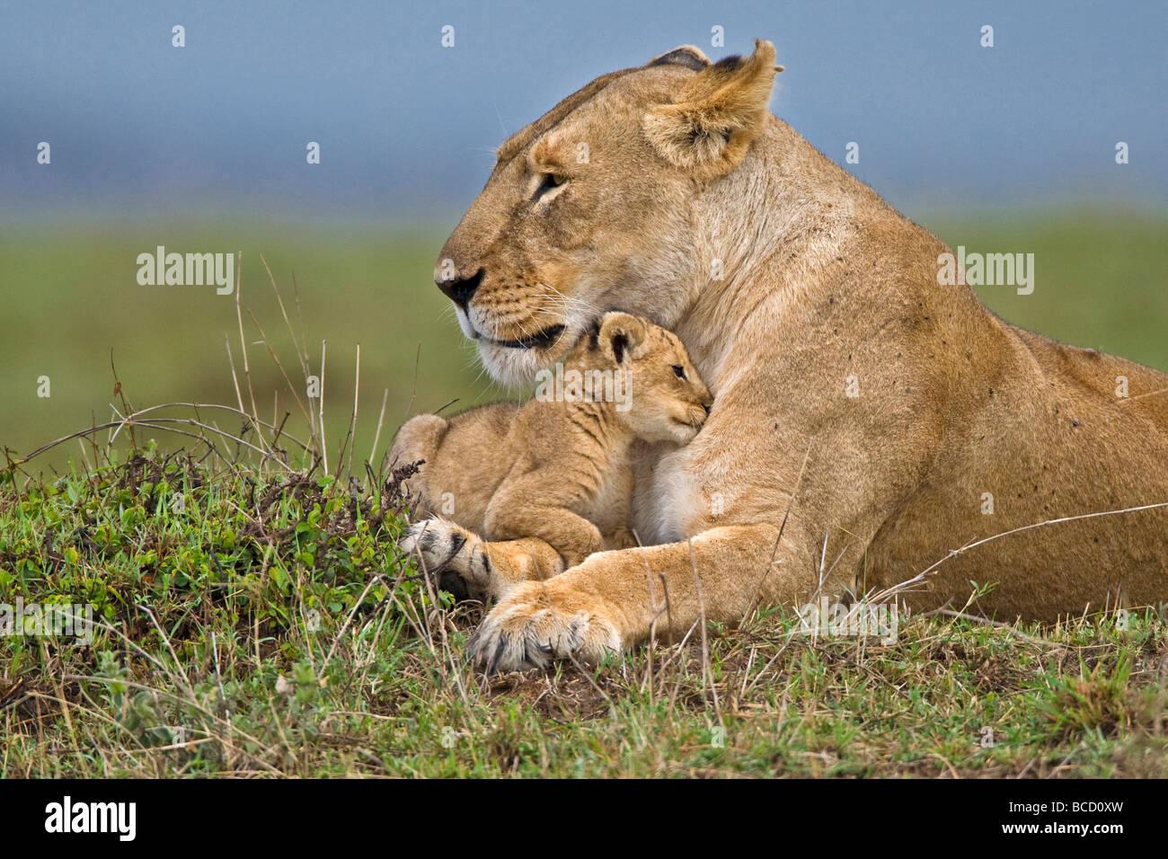 African Lion (Panthera leo) mother and very young cub. Masai Mara. Kenya. Africa Stock Photo