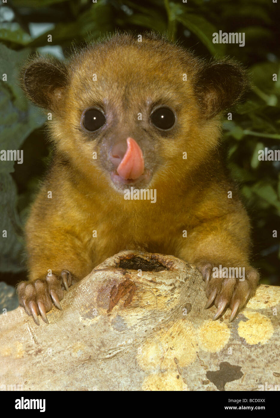 KINKAJOU (Potos flavus) young licking nose aka Honey Bear or Cat Monkey. Found in tropical Central and South America. - Stock Image