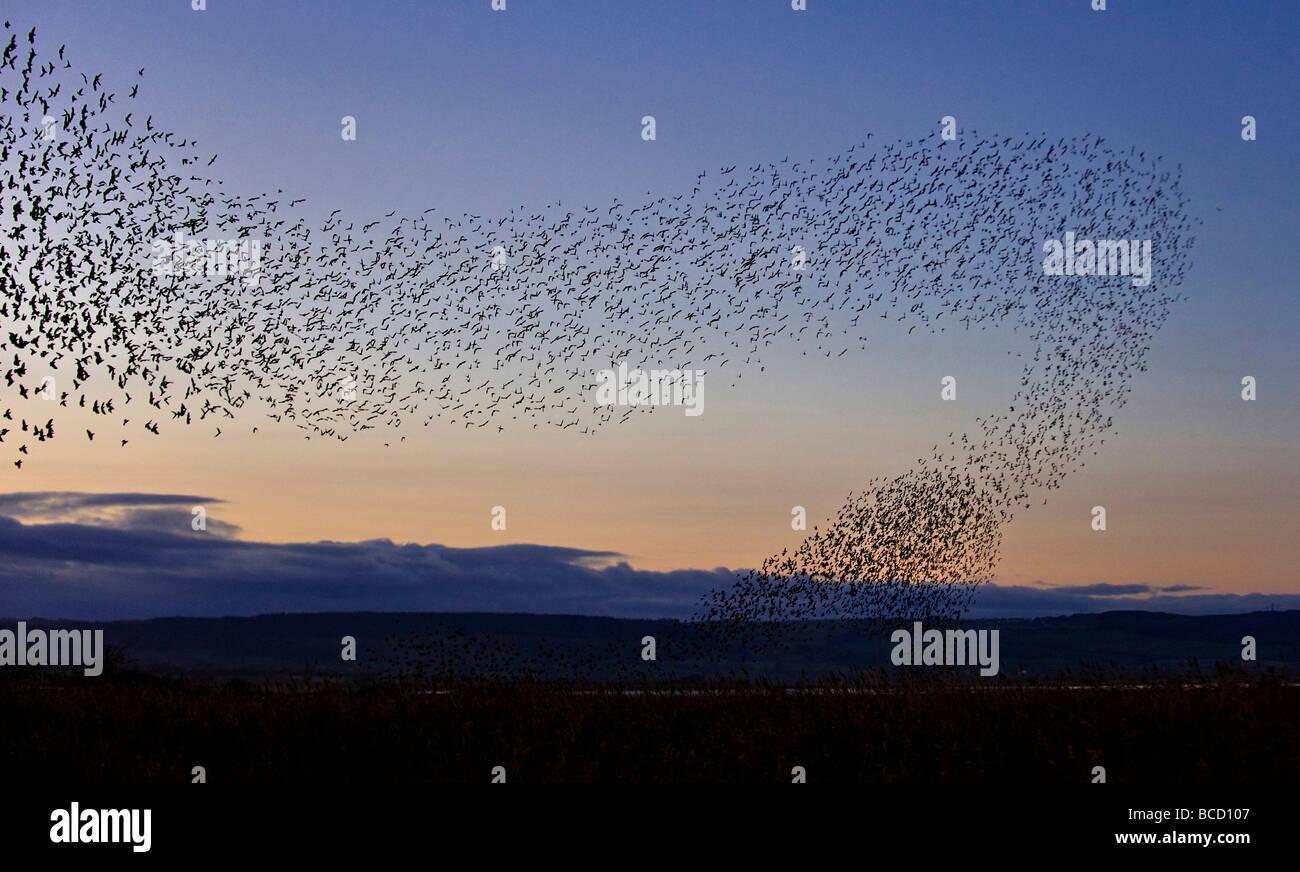 Starling (Sturnus vulgaris) flock in flight at dusk to winter roost. Gloucestershire - Stock Image