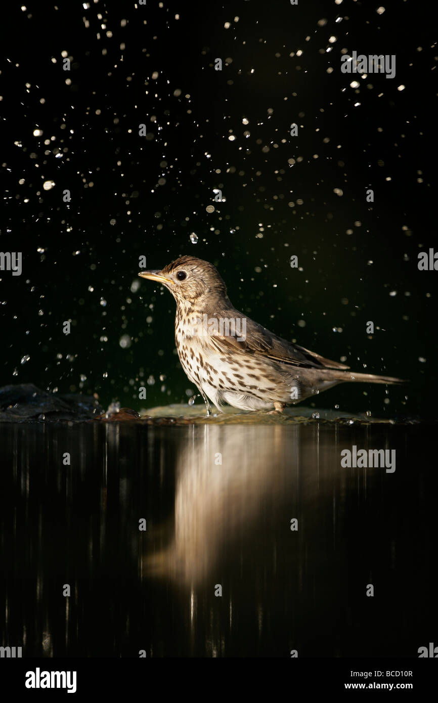 Song thrush (Turdus philomelos) Hungary - Stock Image
