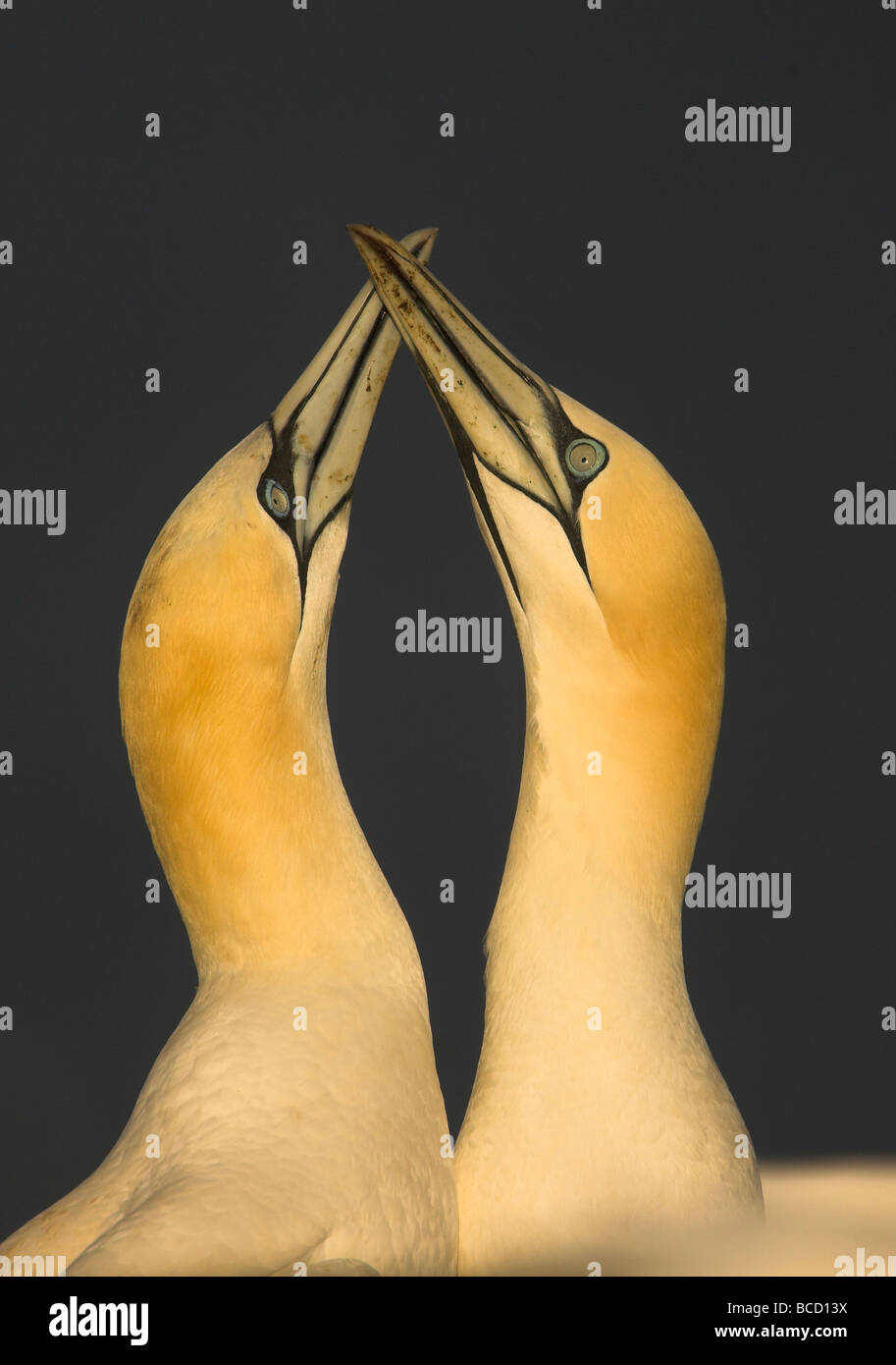 Gannet (Sula bassana) performing their courtship display ritual at their breeding colony - Stock Image
