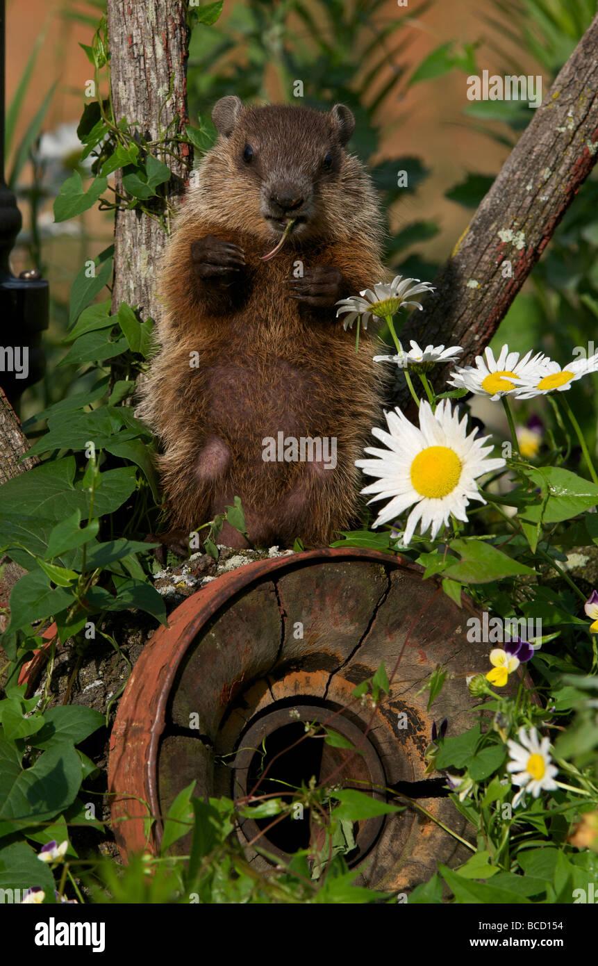 Woodchuck (Marmota monax) young feeding. North America - Stock Image