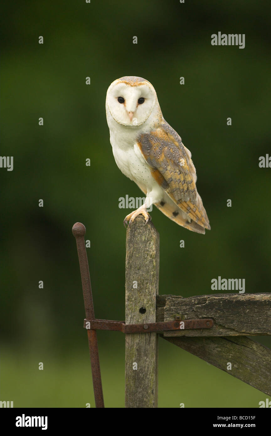 Barn Owl (Tyto alba) perched on an old gate at dusk. - Stock Image