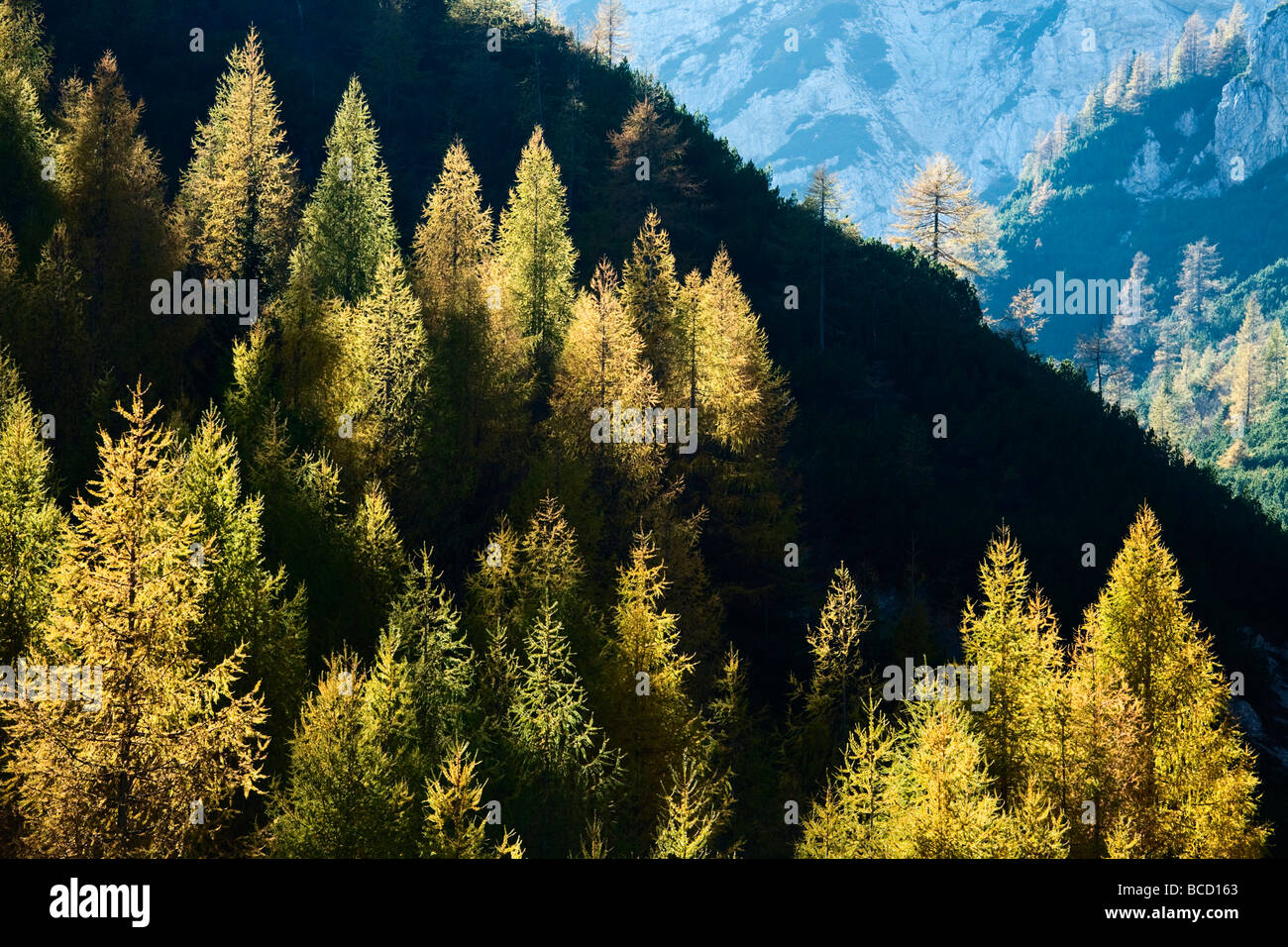 LARCH TREES in autumn. Visic Pass. Triglav National Park. Julian Alps. Slovenia - Stock Image