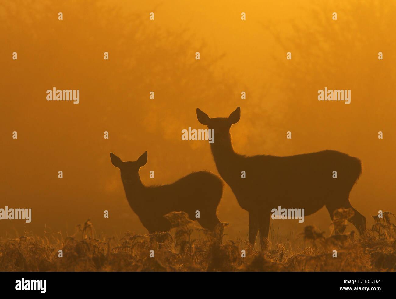 Red deer (Cervus elaphus) and Calf at dawn. Bradgate Park. Leicestershire. UK - Stock Image