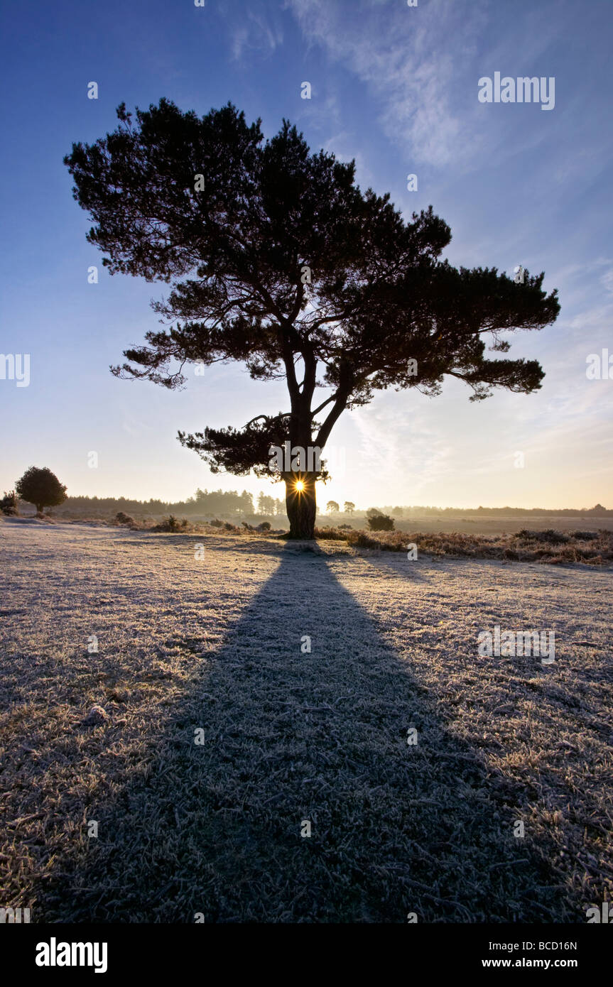 SCOT'S PINE (Pinus sylvestris) at sunrise. Bratley View. New Forest National Park. Hampshire. England - Stock Image