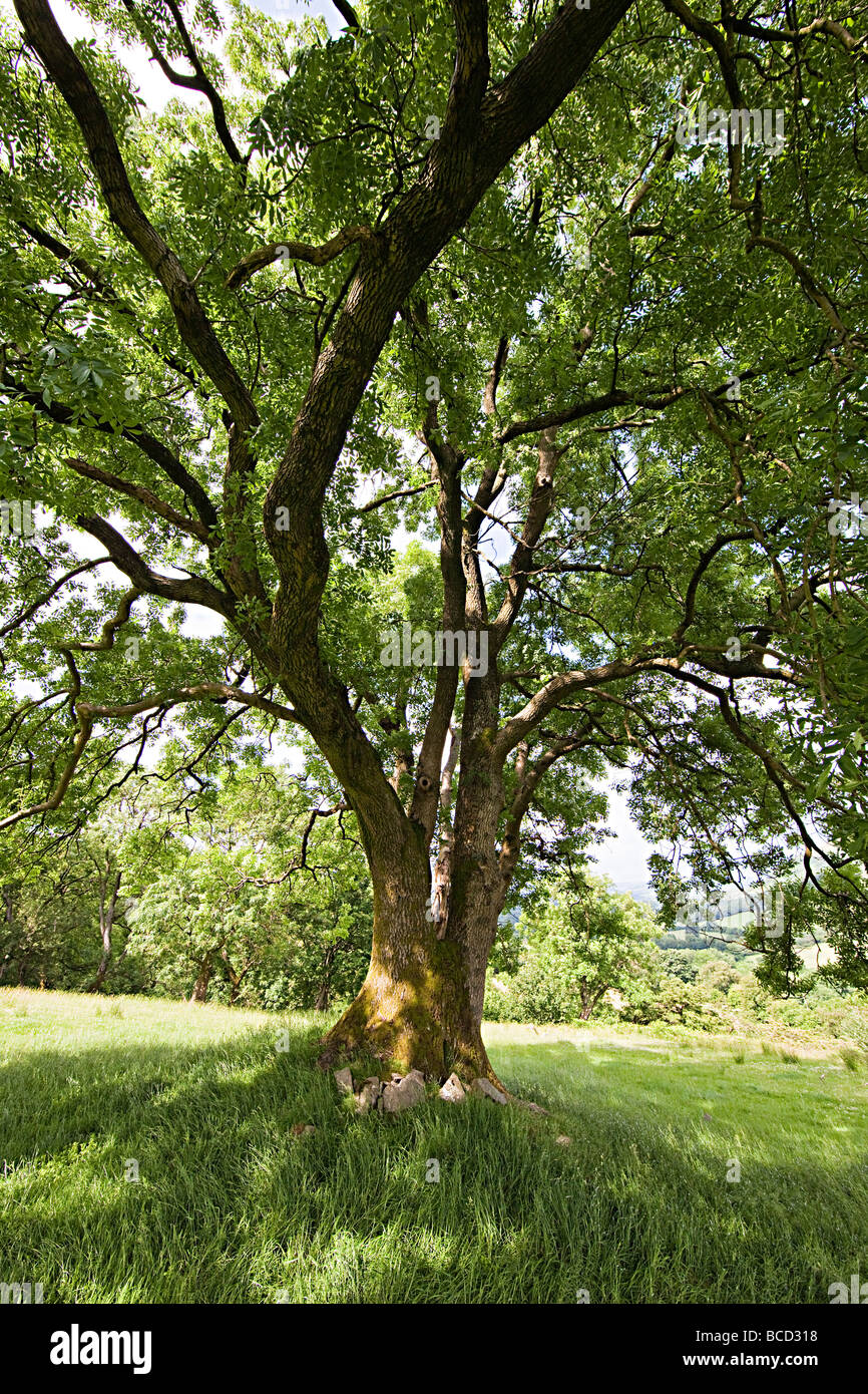 Ash tree in countryside Brecon Beacons national park Wales UK - Stock Image