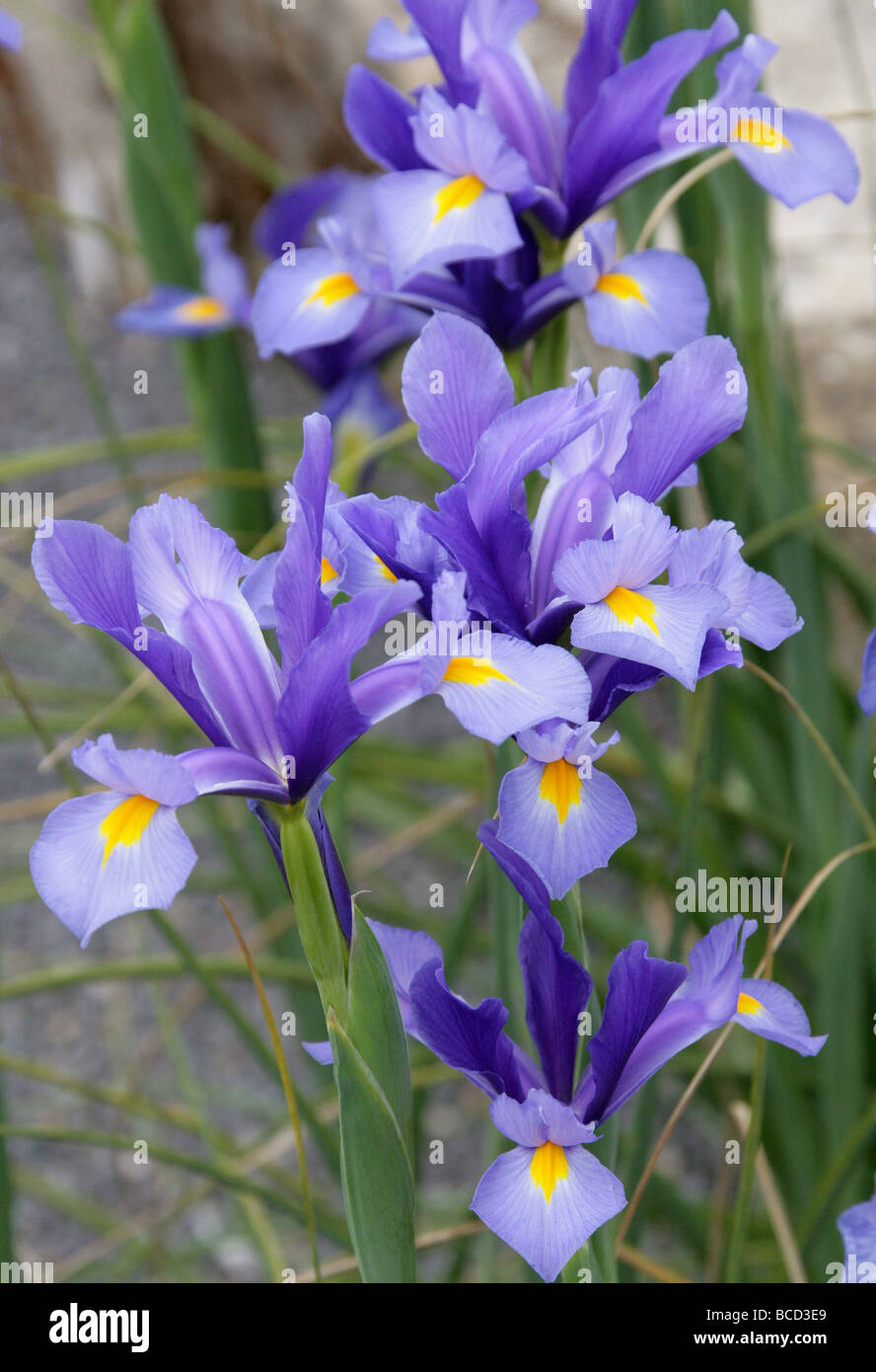 Spanish Iris, Iris xiphium, Iridaceae, Southwest and Southeast Europe and North Africa. Aka the Small Bulbous-rooted - Stock Image