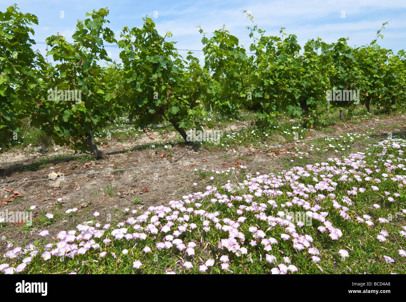 Field Bindweed / Convolvolus arvensis weed amongst grape vines, sud-Touraine, France. - Stock Image