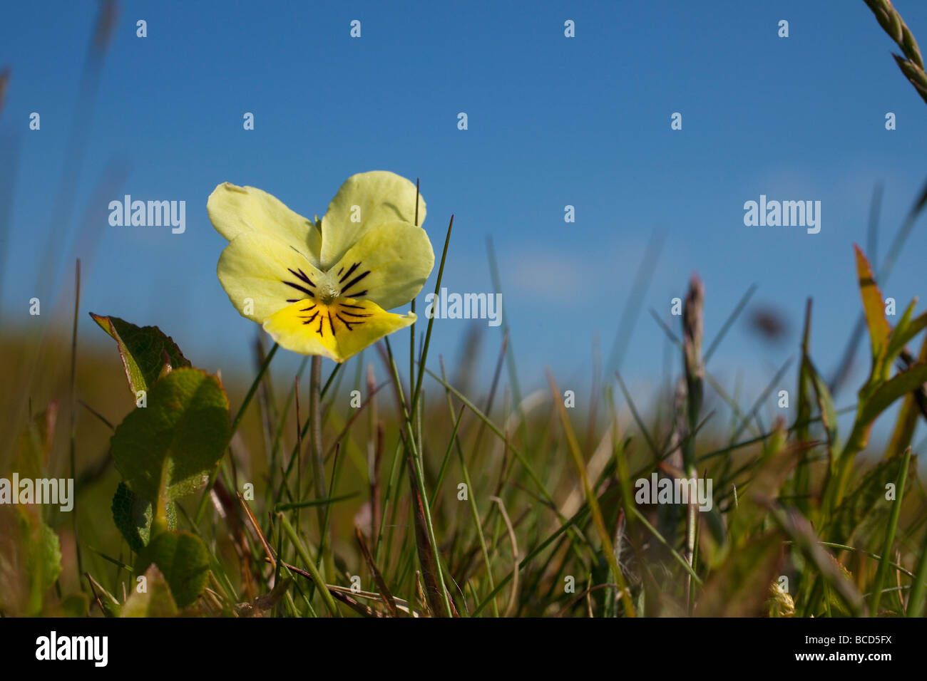 Wild Mountain Pansy Viola lutea Shropshire Hills England UK GB British Isles - Stock Image