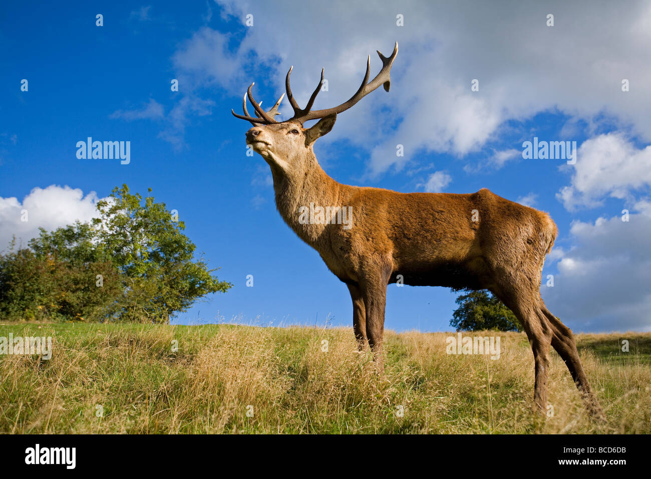 RED DEER (Cervus elephas) stag at his best during the rutting season. - Stock Image