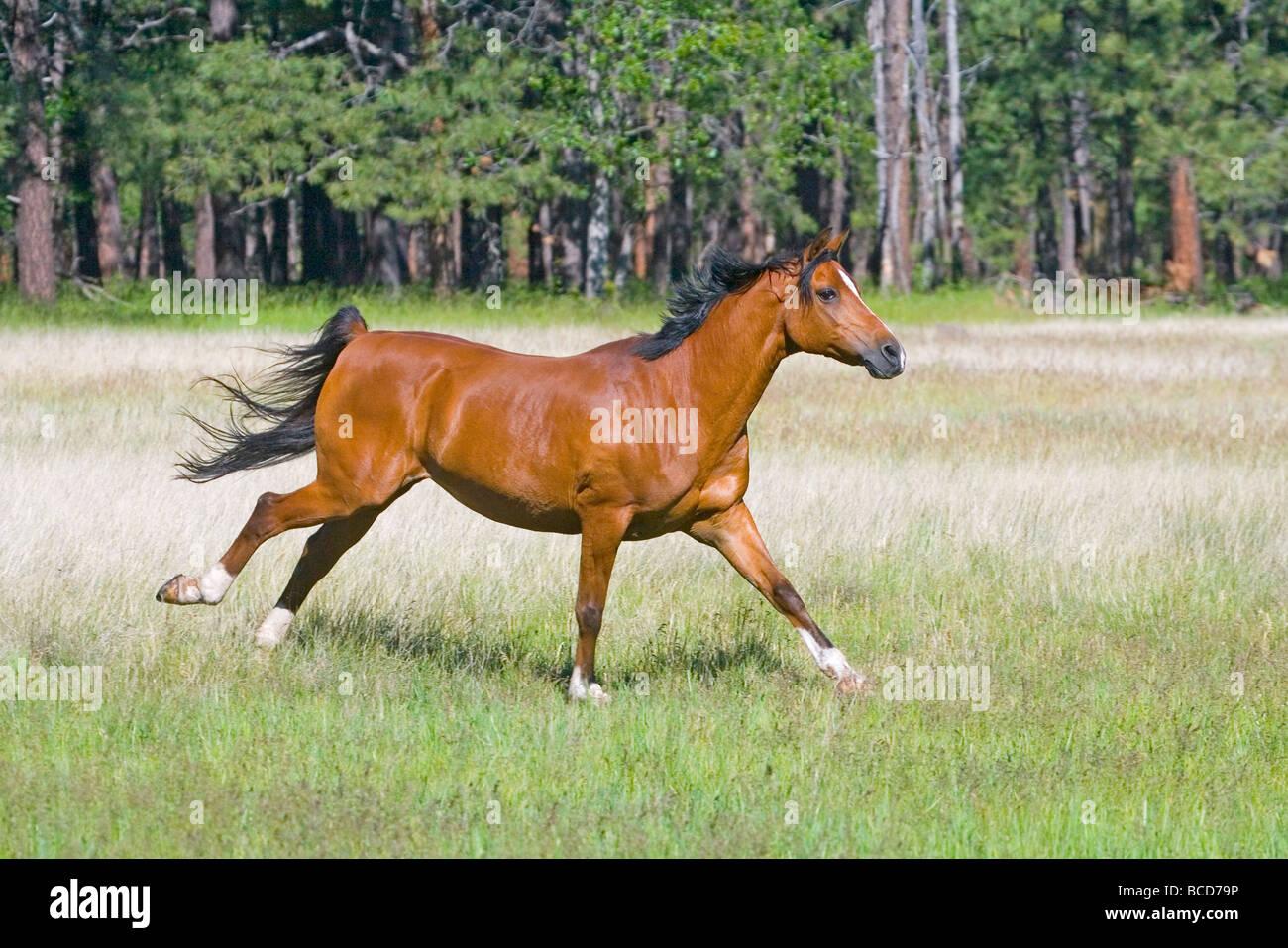 Arabian Horse - Stock Image