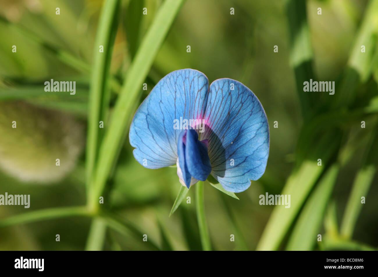 Chickling pea (Lathyrus sativus var azureus - Stock Image
