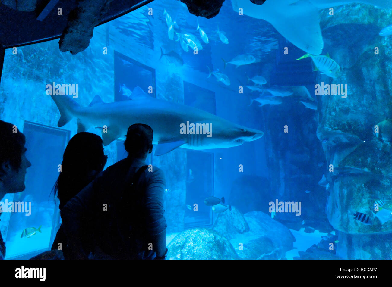 Shark in the Sea Life London Aquarium London England Britain UK - Stock Image