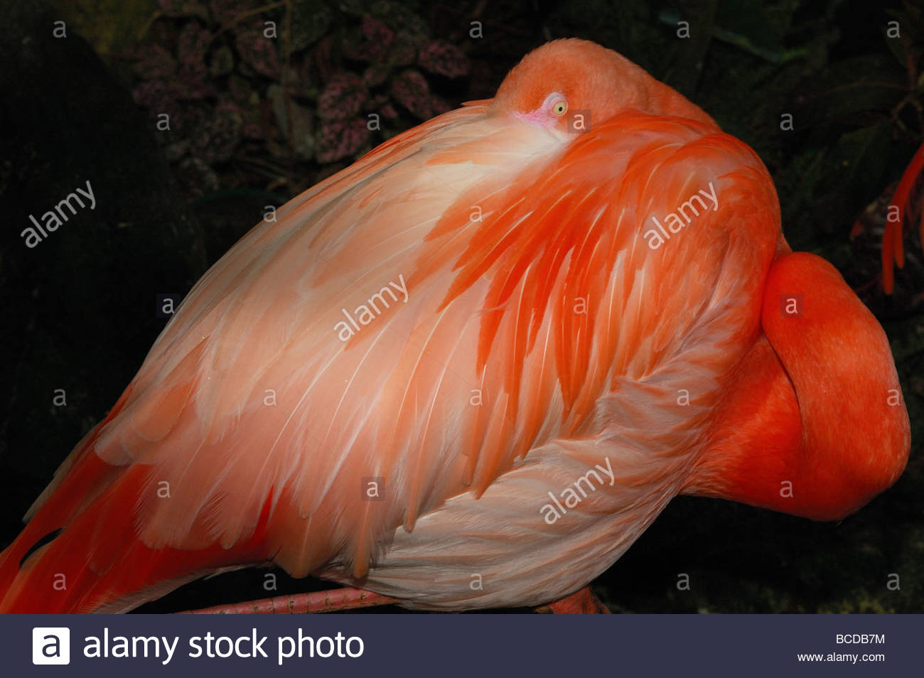 Sleeping flamingo close up.  Photographed in Victoria, British Columbia. - Stock Image