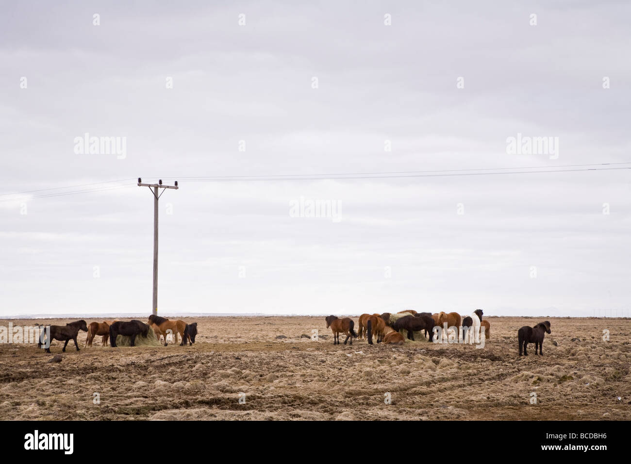 Horses grazing in a field, powerlines above. South Iceland - Stock Image