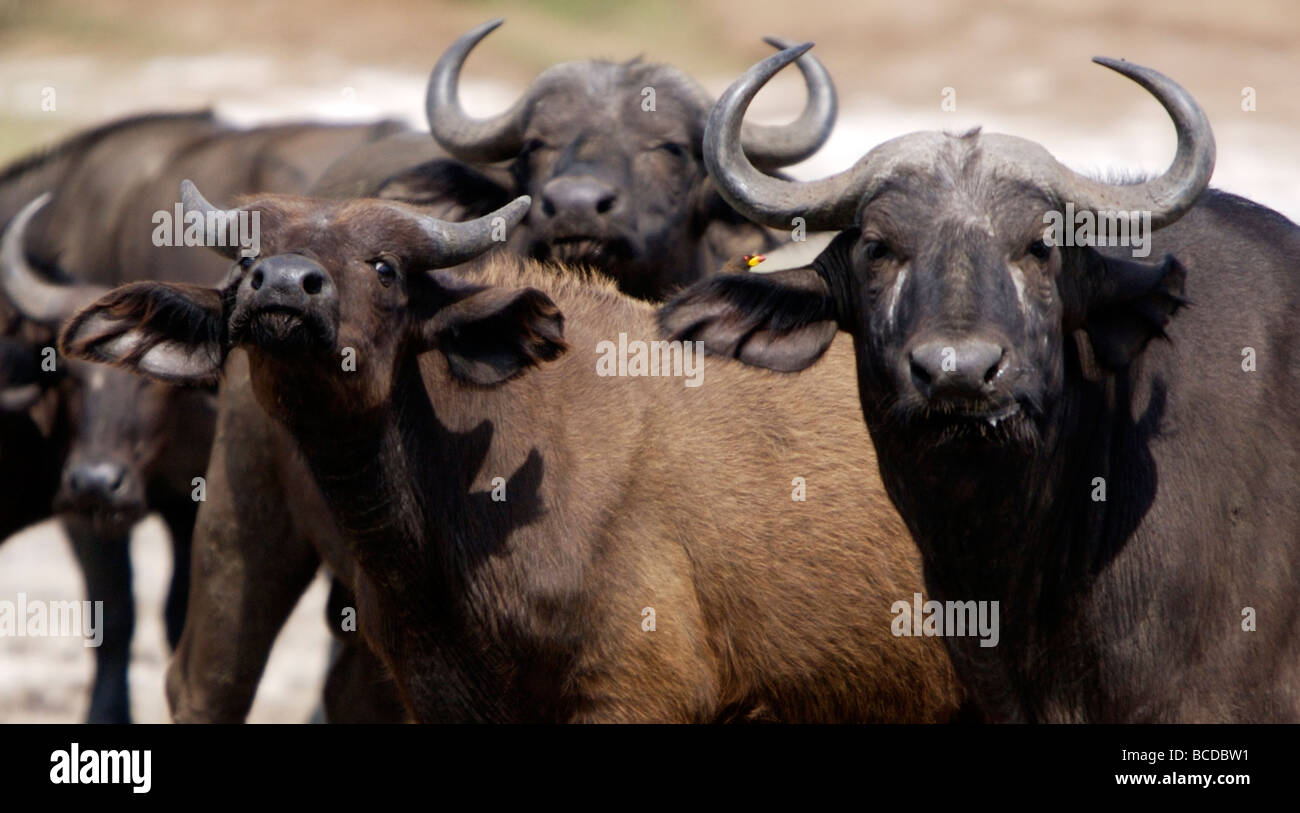 Cape buffalos, Kazinga Channel, Uganda Stock Photo