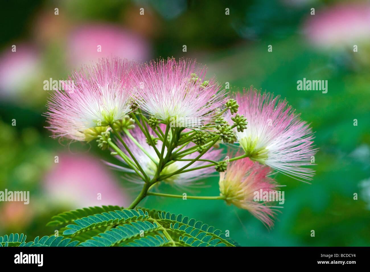 Mimosa Tree Albizia Julibrissin Stock Photo 24881784 Alamy