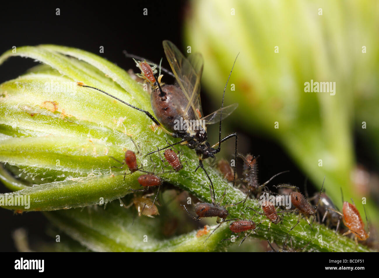 Aphid giving birth. These are probably aphids of the genus Uroleucon. - Stock Image