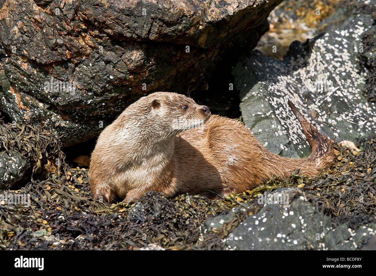 Dog Otter alert - Stock Image