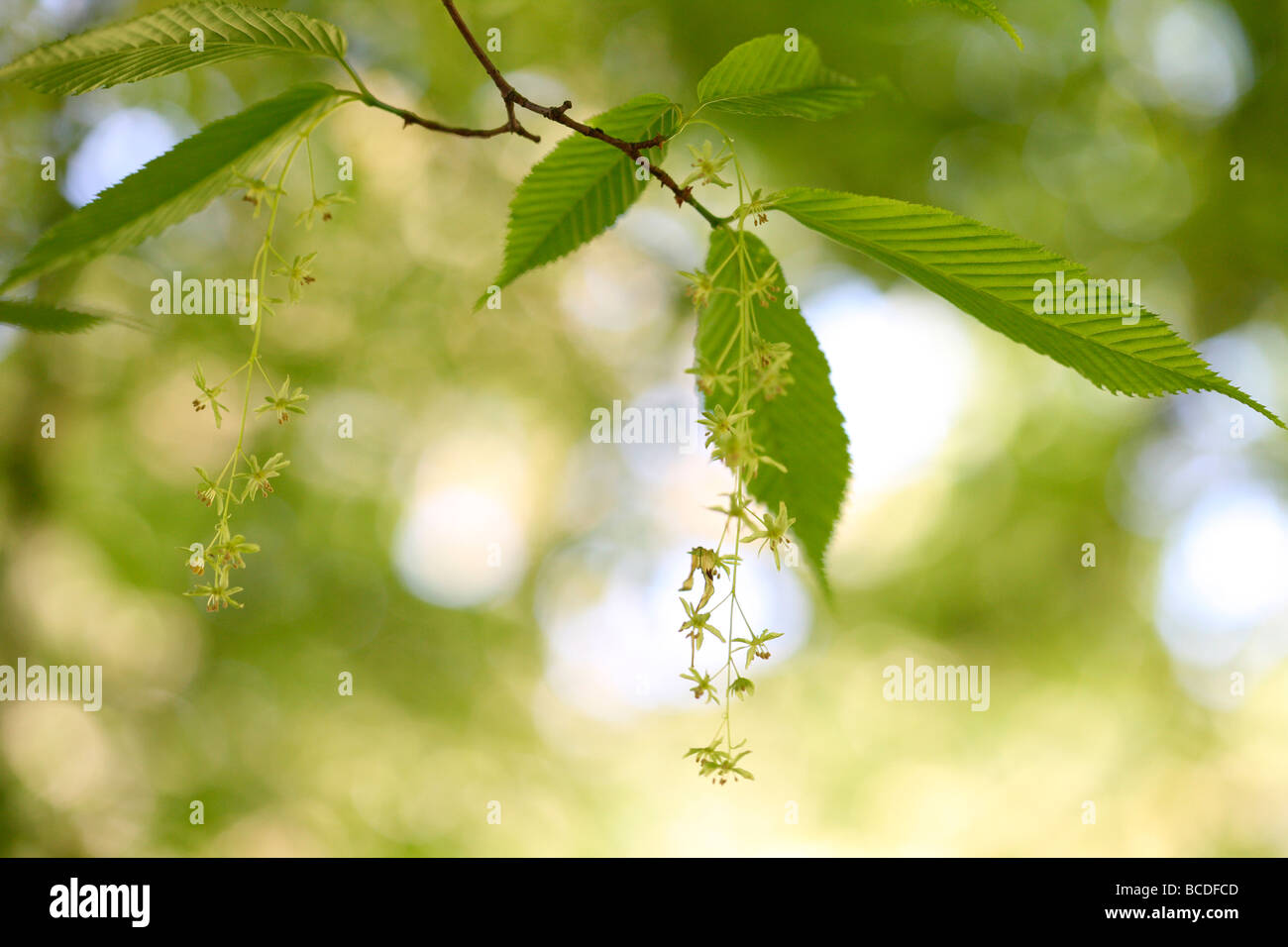 acer carpinifolium dainty drooping flower clusters native to Japan fine art photography Jane Ann Butler Photography - Stock Image