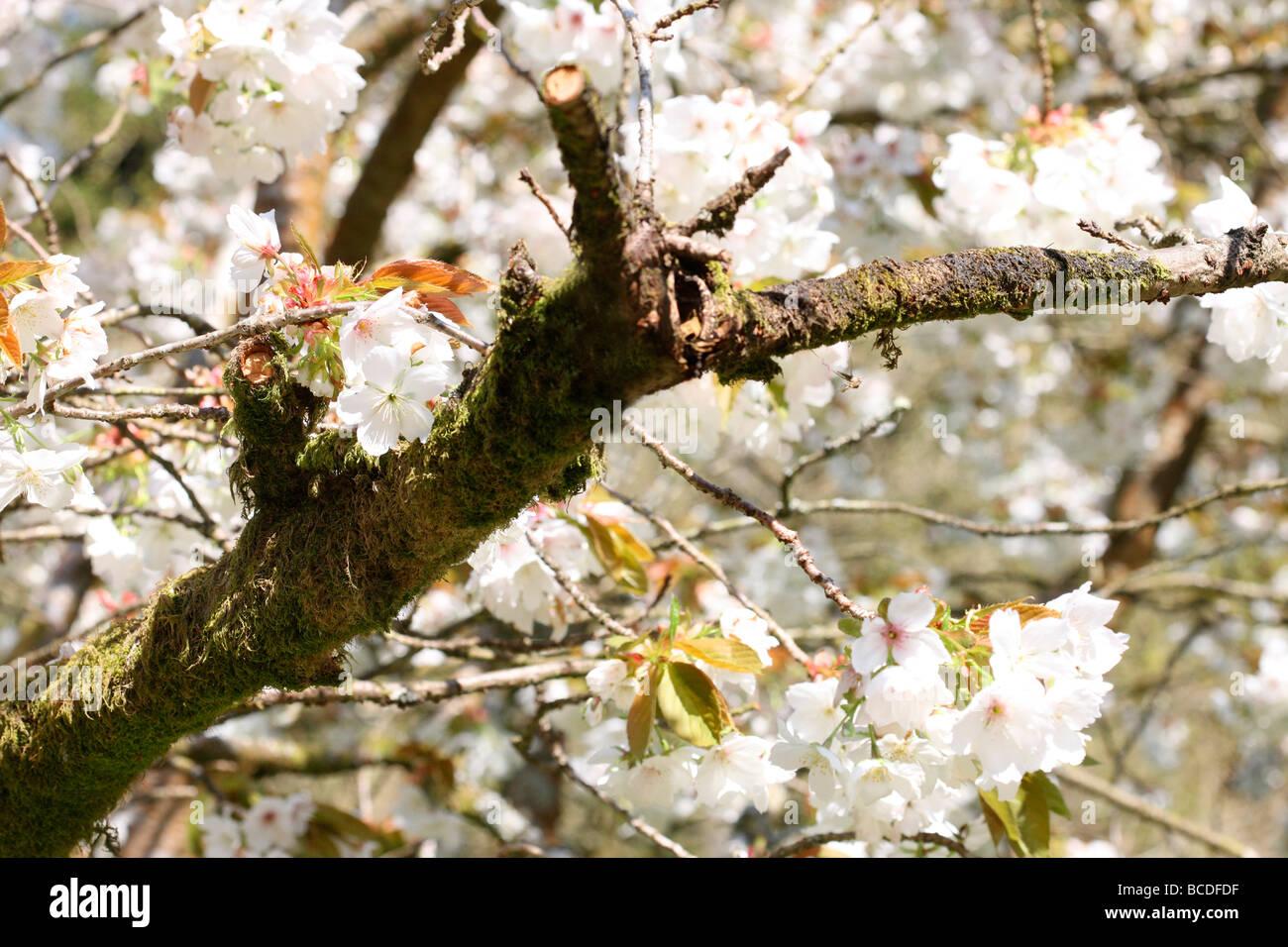 beautiful oriental cherry fine art photography Jane Ann Butler Photography JABP447 - Stock Image