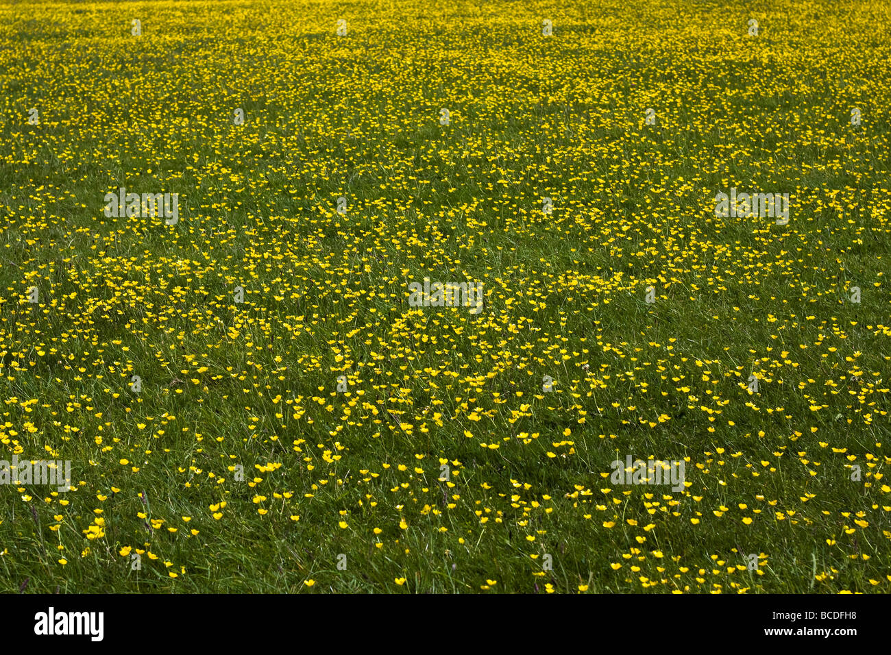Green Pasture Filled With Little Yellow Flowers Stock Photo