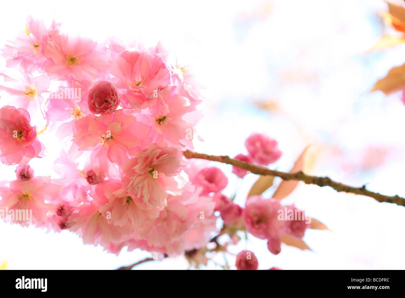 a taste of spring prunus cherry blossom fine art photography Jane Ann Butler Photography JABP455 - Stock Image