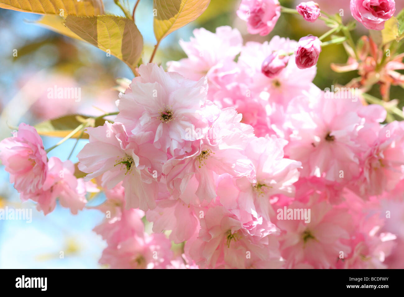 a taste of spring prunus japanese cherry blossom shirofugen fine art photography Jane Ann Butler Photography JABP458 - Stock Image